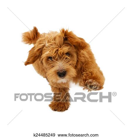 Stock Photograph Of Fluffy Puppy Running Forward K24485249 Search