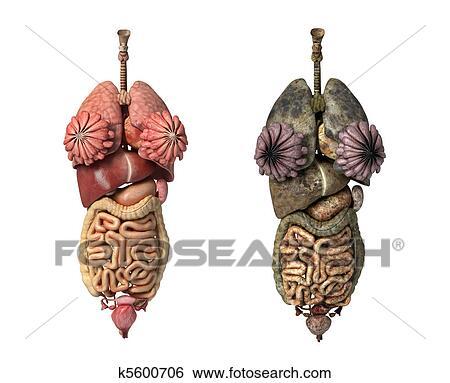 Stock Illustration of Female internal organs k5600706 - Search Clip ...
