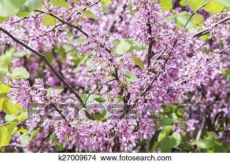 Judas Tree Flower Cercis Siliquastrum Picture K27009674