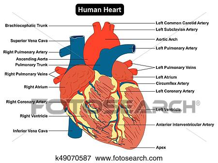 Clip Art of Human Heart Muscle structure Anatomy Diagram k49070587 ...