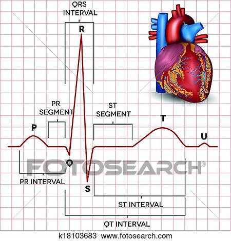 Human heart normal sinus rhythm and heart anatomy Clipart