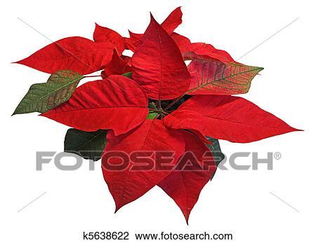 Stella Di Natale Bianca.Rosso Stella Di Natale Bianco Fondo Archivio Immagini