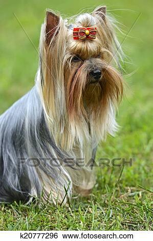 Stock Illustration Of Yorkshire Terrier K20777296 Search Clip Art