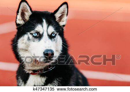 Stock Image Of Young Husky Puppy Dog Sitting In Red Floor Outdoor