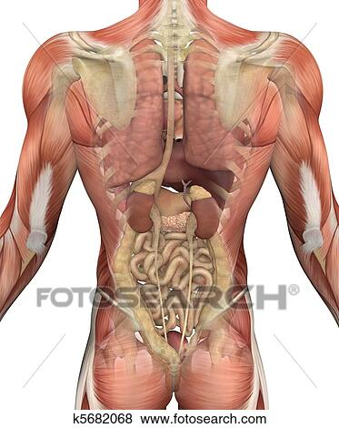 Internal Organ Diagram Back View.Male Torso With Muscles And Organs Back View Standartinė Iliustracija