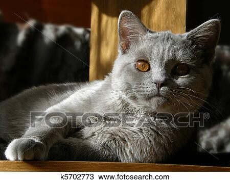 Cat British Shorthair Lilac Stock Image K5702773 Fotosearch