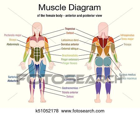 Clip Art Of Muscle Diagram Female Body Names K51052178 Search