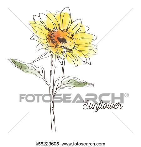 Amarela Girassol Ilustracao Desenho Branco Fundo Clipart