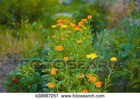 banques de photographies parterre fleurs orange et jaune soucis calendula dans a. Black Bedroom Furniture Sets. Home Design Ideas