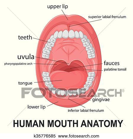 Clipart - boca humana, anatomía k35776585 - Buscar Clip Art ...