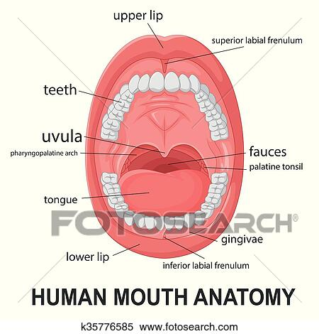 Clipart of Human mouth anatomy k35776585 - Search Clip Art ...