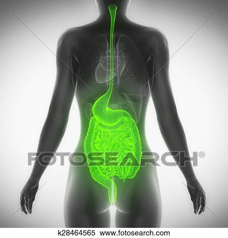 Stock Illustration Of Female Guts And Stomach Anatomy X Ray Scan