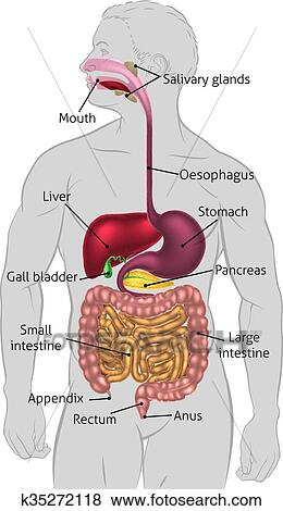Clip art of human digestive system tract k35272118 search clipart the human digestive system digestive tract or alimentary canal with labels labelled with uk spellings and labels like those in the gcse syllabus ccuart Images
