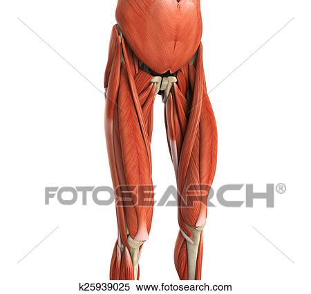 Stock Illustration Of Upper Legs Muscles Anatomy K25939025 Search