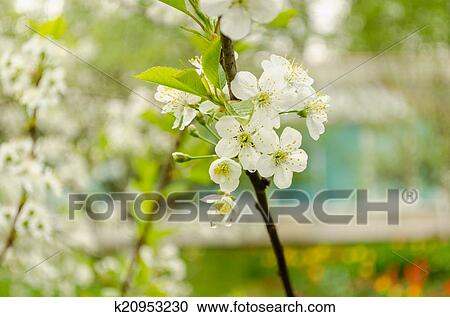 Stock Photography Of Apple Tree Branch With White Flowers Drops Of
