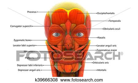 Stock Illustration of Human Face Muscles Anatomy k39666308 - Search ...