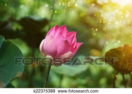 Lotus Flower Thailand Stock Photo K22375388 Fotosearch