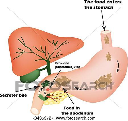 Digestif Organs Digestif Apparatus Bile A Sommaire Nourriture Isolement De Pancreatique Jus Pour Pirevarivaniya Nourriture Je Clipart K34353727 Fotosearch