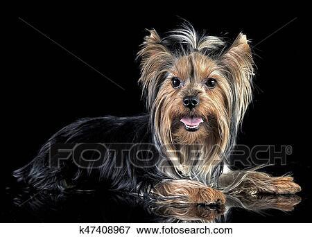Very Nice Long Hair Yorkshire Terrier In Studio Stock Photo