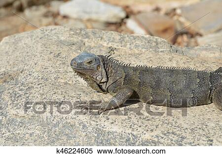 gray iguana sunning and resting on a large rock stock