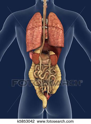 Stock photo of internal organs back view k5853042 search stock 3d render of the internal organs as seen from the back with a silhouette of the body ccuart Choice Image