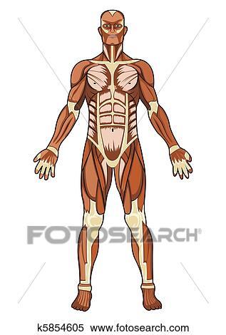 Clipart - menschliche anatomie, in, vektor k5854605 - Suche Clip Art ...