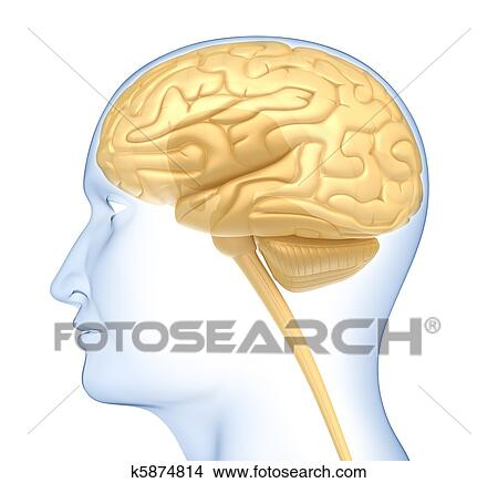 human brain in the head side view stock illustration k5874814human brain in the head side view isolated on white