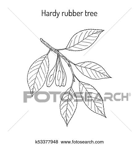 Hardy rubber tree Eucommia ulmoides, medicinal plant Clip ...