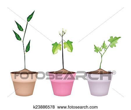 Clip Art Of Three Green Eggplant Tree In Ceramic Pots K23886578