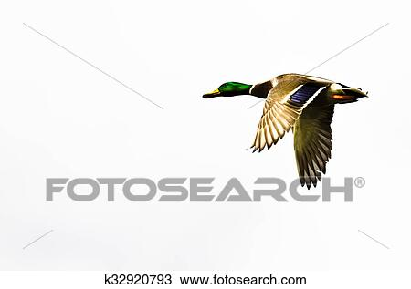 Stock Photo Of Mallard Duck Flying On A White Background K32920793