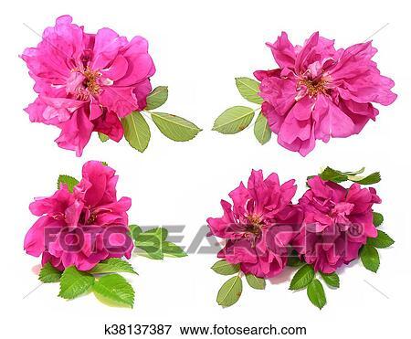 Oleo Desenhar Cor De Rosa Petalas Briar Fresco Delicado