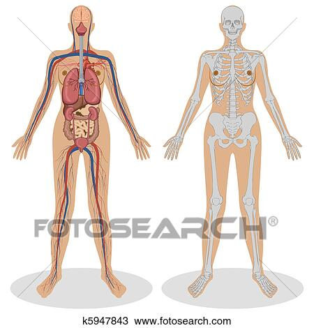 Clipart - anatomía humana, de, mujer k5947843 - Buscar Clip Art ...