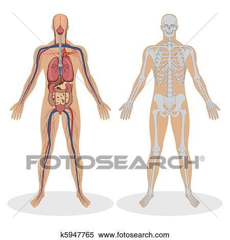 Clipart Of Human Anatomy Of Man K5947765 Search Clip Art