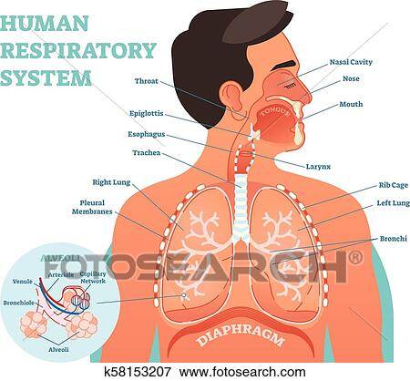 Respiratory System anatomical vector illustration, medical education on costal surface of lung, lung nodules, lung drawing, mediastinal surface of lung, clara cell, lung lobes, lung infection, conducting zone, lung model, respiratory bronchiole, bronchopulmonary segment, lung structure, lung hilum, base of lung, borders of lung, apex of lung, alveolar duct, horizontal fissure of right lung, lingula of left lung, lung cartoon, lung cross section, lung function, lung health, lung segments, lung apex, lung animation, lung disease, root of the lung, oblique fissure, lung force, cardiac notch, lung bleb, terminal bronchiole, hilum of lung, lung tree birds, right lung, lung mri, lung volumes, pulmonary alveolus,