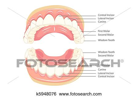 Clip Art Of Teeth Anatomy K5948076 Search Clipart Illustration