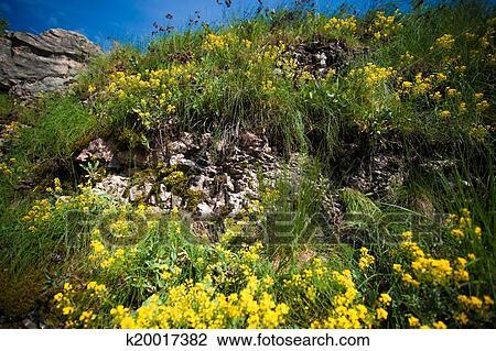 Fiori Gialli Montagna.Foto Di Fiori Gialli Su Montagna Archivio Immagini K20017382