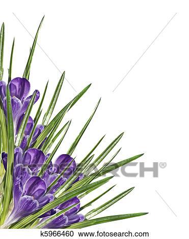 Stock Fotografie - lila, blume, krokus, weiß, hintergrund k5966460 ...