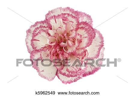 Stock Photograph Of Pink Carnation Flower Head On White Background