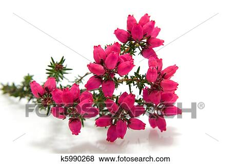 Pictures of heather flower in closeup k5990268 search stock photos pink heather flower in closeup isolated on white background mightylinksfo