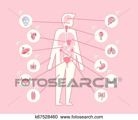 Principal Corpo Humano órgãos Internos Dentro Estrutura