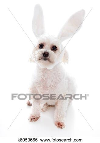 White Dog With Bunny Ears Stock
