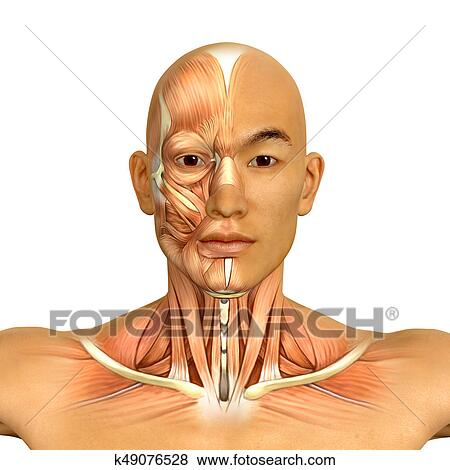 Stock Illustration of 3d Asian male model face and neck muscles ...