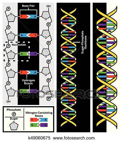 Clipart of dna chemical structure diagram k49060675 search clip dna chemical structure diagram including details of strands compounds adenine thymine guanine cytosine in human body cell genes genetic code nitrogen pair ccuart Gallery