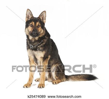 Old German Shepherd Dog Sitting Stock Photo K25474089 Fotosearch