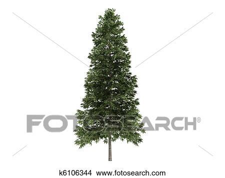 Disegni Abete Rosso O Picea Abies K6106344 Cerca
