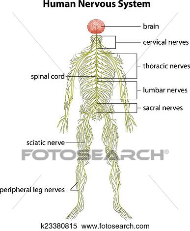 Clipart Of Human Nervous System K23380815 Search Clip Art