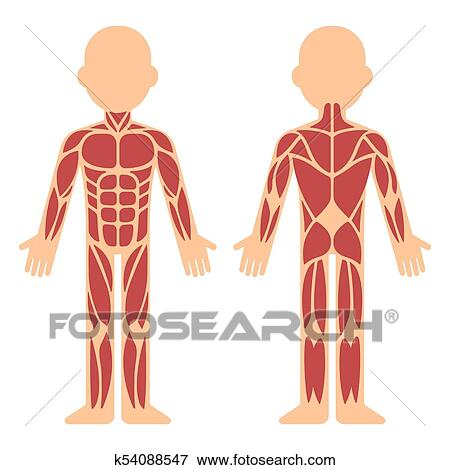 Clip Art Of Muscle Anatomy Chart K54088547 Search Clipart
