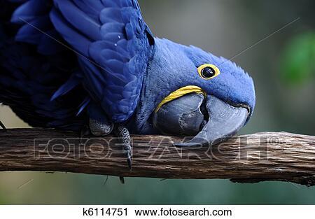Nieuw Blauwe, papegaai Stock Afbeelding | k6114751 | Fotosearch VI-19