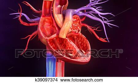 Dessins coeur humain anatomie k39097374 recherche de - Dessin coeur humain ...