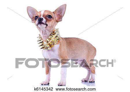 Chihuahua Cucciolo Con Dorato Collare Fissato Archivio Immagini